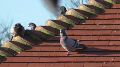 Pigeons resting on a tiled roof top Stock Footage