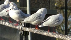 Seagulls on a suspension bridge cable preening their feathers Stock Footage