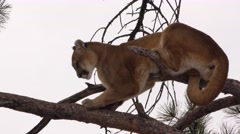 Mountain lion or cougar in a tree on a branch Arkistovideo