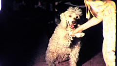 Pet POODLE Dog Doing Tricks Shake Hands 1960s Vintage Retro Film Home Movie 8083 - stock footage