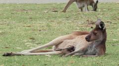 Kangaroo and Joey Resting on Grass Stock Footage