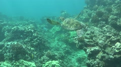 Green Sea Turtle Underwater in 4K Stock Footage