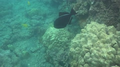 Black Durgon Triggerfish in Coral Reef Stock Footage