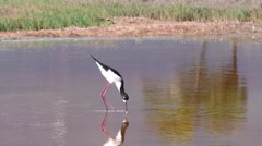 Hawaiian Black Stilt in Wetland in Hawaii - stock footage
