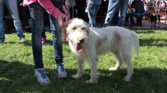 Bosnian Coarse standing and posing at the international dog show. Stock Footage