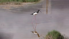 Endangered Black-necked Stilt in Maui Hawaii - stock footage