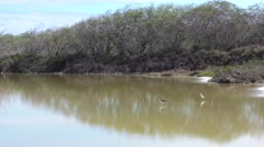 Pair of Hawaii Black-necked Stilt and Wetland in Hawaii Stock Footage
