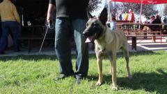 Malinois (Belgian Shepherd Dog) standing next to the owner on dog show. Stock Footage