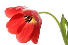 Stock Photo of Red exposed tulip.