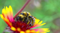 Bumblebees on a flower gailardia. Stock Footage