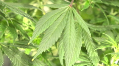 Close-up Marijuana Leaves Stock Footage