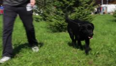 Black Labrador Retriever with owner walking and passing next to the camera. Stock Footage