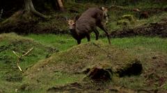 Stock Video Footage of roe deer