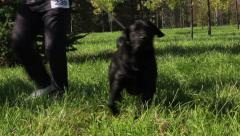 Black Labrador Retriever with owner walking on green grass. Dog swoop on camera. Stock Footage