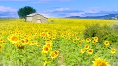 sunflower field over cloudy blue sky - stock footage