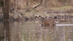 Deer Crosses Stream, Then Shakes Like a Dog Stock Footage