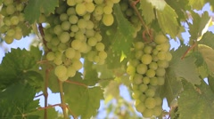 Green wine grapes Stock Footage