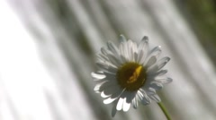 Camomile in front of cascade, closeup. Stock Footage