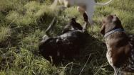 Stock Video Footage of Dogs playfighting with audio
