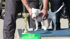 Jack Russell Terrier standing and posing on the podium at international dog show Stock Footage