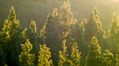 Pine trees at sunset, gorgeous Southern California Stock Footage