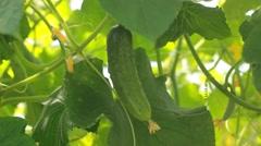 Cucumber growing in the vegetable garden Stock Footage