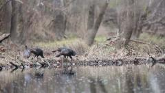 Turkey Hens Meander and Feed Along a Creek Stock Footage