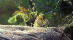 Two crayfishes under water Stock Footage