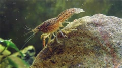 Crayfish on on stone under water Stock Footage