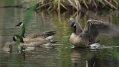 Four Geese feeding and swimming along the edge of a beaver pond - stock footage
