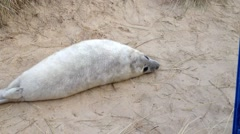 Baby Grey Seals on Norfolk beach at Horsey. Stock Footage