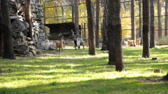Ibexes in zoo Stock Footage
