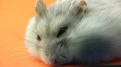 Tired hamster Stock Footage
