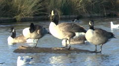 Canada geese sitting on a log in a pond in Bushy Park, London, UK. Stock Footage