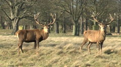 Two large male (stag) red deer in Bushy Park, London, UK. Stock Footage