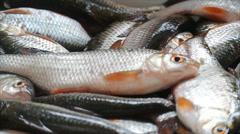 Rudd fish. Winter catch Stock Footage