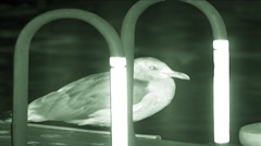 Night vision shot of a Seagull (Laridae) in Washington, D.C. Stock Footage