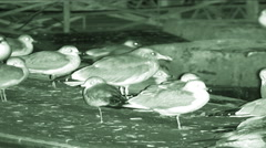 Night vision shot of Seagulls (Laridae) in Washington, D.C. Stock Footage