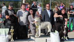 Siberian Husky standing on podium for winner at the international dog show. Stock Footage