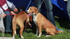 Two Posavac Hound standing on green grass at the international dog show. Stock Footage