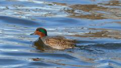 Green-Winged Teal Duck Swimming Fast in Cold Waters Stock Footage