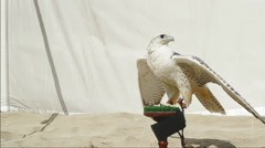Gyrfalcon on perch in front of canvas backdrop Stock Footage