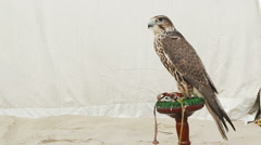 Saker falcon on perch copy space on left Stock Footage