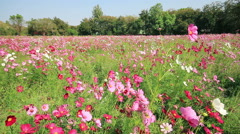 White pink and purple cosmos flowers field swaying in the breeze. Stock Footage