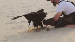Eagle trainer picking up Bald eagle from lure Stock Footage