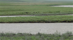 Musk Ox Herd On The Sagavanirktok River In Arctic Alaska Stock Footage