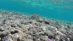 Smooth Cornetfish in Red Sea Stock Footage