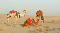 Three saddled camels in the desert waiting for riders Stock Footage
