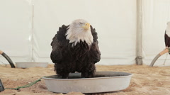 Bald eagle dabbling in its bath Stock Footage