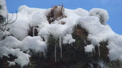 HD. Pine branches covered with snow. Beautiful winter view with blue sky. - stock footage